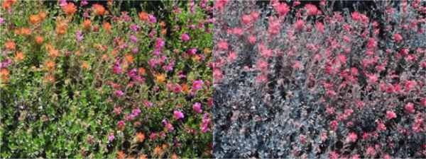 Two photos of identical flowers displaying colours as intepreted by typical and tritanopic sight